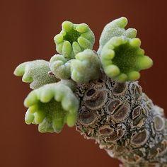 Pots and plants by Kitoi (Dorstenia gigas)