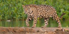 2018 Brazil Pantanal Jaguar Wildlife Photo Expedition - Now Booking!