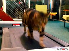 Tom The #Cat Gets His Daily Exercise On The #Treadmill Toning Exercises, Daily Exercise, Got Him, Treadmill, Toms, Cat, Animals, Animales, Animaux