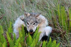 Gray wolf headdress by Lupa. http://www.thegreenwolf.com