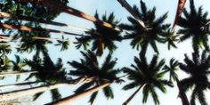 cali trees-- twitter header  pinterest:: emilywadee
