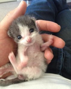 Man Saves Orphaned Kitten from Backyard and Raises Her into a Snuggle Bug - Love Meow