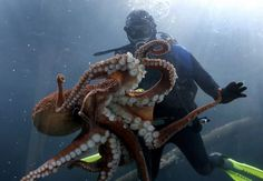 Octopus with diver