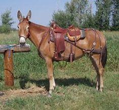 1100 Best MULES images in 2019 | Donkeys, Horses, Saddles