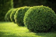 Healthy boxwood plants have lush green leaves, but to keep your shrubs looking their best, you may need to offer them boxwood plant food. For more information on appropriate fertilizer for boxwood shrubs, click this article. Boxwood Landscaping, Landscaping Plants, Front Yard Landscaping, Landscaping Ideas, Landscaping Software, Backyard Plants, Luxury Landscaping, Landscaping Company, Inexpensive Landscaping