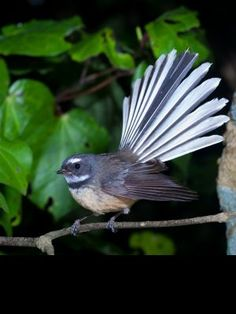 Fantail (piwakawaka) in flight. (Rhipiduridae) Fantails use their broad tails to change direction quickly while hunting for insects, which they do in flight. Beautiful Birds, Animals Beautiful, Animals And Pets, Cute Animals, Nz Art, Maori Art, Kiwiana, Colorful Birds, Bird Art