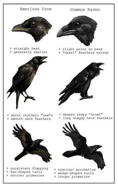 American Crow vs Common Raven Corneille d'Amérique vs grand corbeau Beautiful Creatures, Quoth The Raven, Creation Art, Raven Art, Crow Or Raven, Pet Raven, Crow Bird, Jackdaw, Crows Ravens