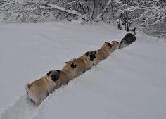 adventurous pugs!