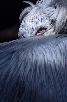 "The Dalmatian Pelican - It breeds from south-eastern Europe to India and China in swamps and shallow lakes. Their nest is a crude heap of vegatation. They are one of the largest living bird species, measuring 5'3""-6', weighing 20-33 lbs and have a 9'6""-11'6"" wingspan. They can be found in lakes, rivers, deltas and estuaries. They feed almost entirely on fish."