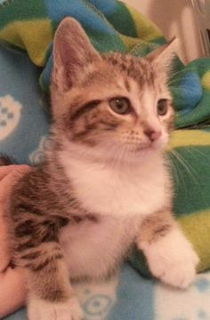 Meet Layla 20302 a Petfinder adoptable Domestic Short Hair Cat | Prattville, AL | Layla is an 8-week old, grey/white female tabby. She and her littermates--Rosanna and Jolene--were...