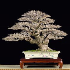 #bonsai #bonsaiitalia #bonsai_italia #bonzai #bonsaiworld #worldbonsai #garden #tree #bonsaitree #giardini #piante #natura #naturaltree #zelkova #pinus #ficus #art #style