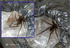 Gerard the Grass Spider Eating Turkey