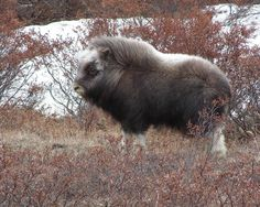 The wind and cold don't bother this muskox. Its long, coarse outer fur keeps it waterproof and windproof. Its underfur, qiviut, traps its body heat to keep it very warm.