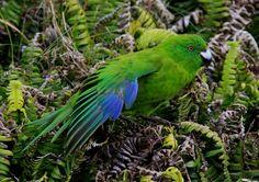 Kakariki verde - Antipodes Parakeet -  Cyanoramphus unicolor