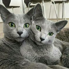 Theses cats look a lot like my cats these must be Russian Blues