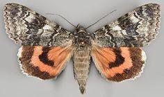 Catocala adultera Ménétriés, Finland; Ta:Vilppula; 6877:361; 17.-23.8.2003