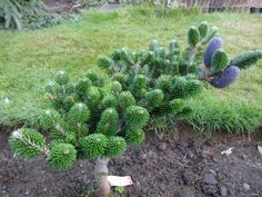 aka Abies delavayi 'Buchanon's Dwarf' Abies delavayi 'Buchanon' is a slow-growing, upright cultivar of Delavay fir. Jade Plant Bonsai, Jade Plants, Trees And Shrubs, Trees To Plant, Landscape Design, Garden Design, Tree Identification, Garden On A Hill, Garden Shrubs