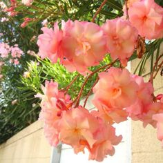 these are so pretty Trees And Shrubs, Flowering Trees, Mother Earth, Mother Nature, Beach Gardens, Beautiful Flowers, Beautiful Things, Flower Pictures, Outdoor Areas