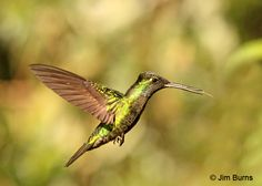Magnificent Hummingbird female hovering at flower