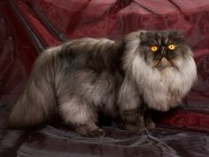 Cat Genetics: Facts on 6 Unusual Coat Colors and Patterns | Catster