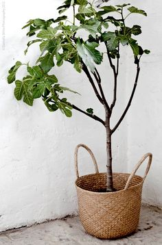 woven basket as fig tree planter