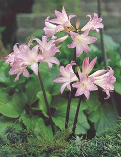 Belladonna Lily.                                      Amaryllis Belladonna.                                 Naked Ladies.