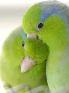 https://www.facebook.com/pages/HzMuhammed-SAV-Prophet-HzMuhammed-SAV/173680862801435 parrots