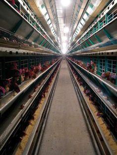 Las gallinas ponedoras criadas en jaulas, cuya numeración en la cáscara del huevo se corresponde al 3 como primer dígito, deben tener al menos 750 centímetros cuadrados de superficie en la jaula.