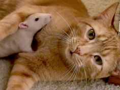 Cats and rats can get along....just never, ever leave them alone together unsupervised