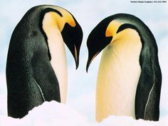 Emperor penguin | Enjoy the beauty of nature.