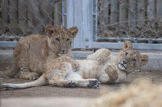 Royal Qatar lion cubs at the Denver Zoo