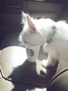 A Puppaccino! You can get these for your little friend at Starbucks--they aren't free, but shouldn't cost too much.
