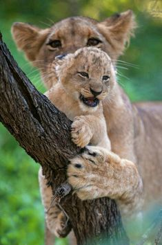 #wildlife #lioness #cubs I love the growling look on this cub ... Thanks so much to original pinner! ... many lessons to learn from super protective Mom ... :)