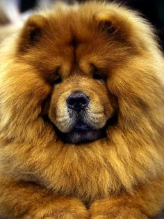 A Chow Chow is seen at Crufts dog show .