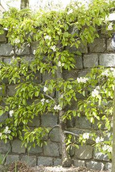 Kleine tuin? Heel wat fruitbomen – zoals appel en peer - groeien mooi als leiboom tegen muren en schuttingen. Garden Angels, Garden Trees, Garden Plants, Small Gardens, Outdoor Gardens, Backyard Plan, Pyrus, Garden Deco, Night Garden