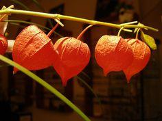 chinese lantern fruit flowers