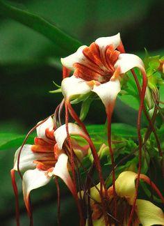 Strophanthus http://flowersgifts.labellabaskets.com faragmoghaddassi@yahoo.com