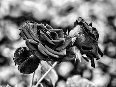 Black And White Red Rose Db Late September 2013 Leif Sohlman