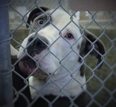 Still there URGENT!!!06/18/URGENT!! This~~  boy will DIE if not adopted. He was given more time!  Dane/Staffordshire Terrier mix male 2-3 years old  Kennel A4****$51 to adopt  He loves men! Doesn't do well with other dogs and only likes some ladies. He would make a great companion for some lucky guy.  Located at Odessa, Texas Animal Control. 432-368-3527