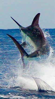 Swordfish Wow!