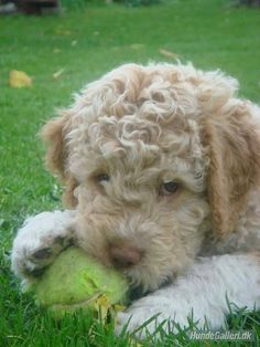 lagotto romagnolo puppies | Lagotto Romagnolo Puppy playing with a ball