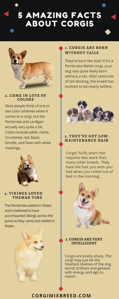 5 Amazing facts about CorgisThere are two types of the Corgi breed. One is the Pembroke #welshcorgi and other is the Cardigan Welsh Corgi. They are intelligent, smart and cute. They are also active. http://corgimixbreed.com/cross/husky/