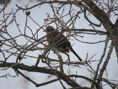 ヒヨドリ.Brown-eared bulbul on a tree. 17 January 2017.