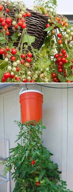 If you love fresh tomatoes throughout the year, you can easily grow them in a pot or even a hanging basket.