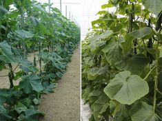 Ha valaha is elgondolkodtunk azon, miért érdemes bevezetnünk a kertünkben a függőleges növénytermesztést, nos, számos előnye azonnal az eszünkbe villan.