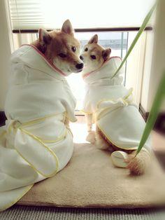 #dog #shibainu #shiba #柴犬 #cute #バスローブ