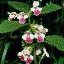 Cómo sembrar la Melisa o Toronjil y sus usos culinarios y medicinales