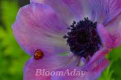 Anemone et coccinelle/ prple anemone and lady bug