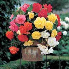 Hanging Begonia Collection