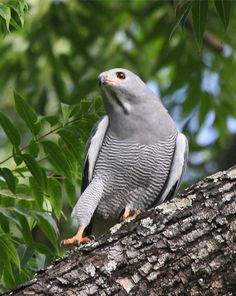 he lizard buzzard (Kaupifalco monogrammicus) is a bird of prey. It belongs to the family Accipitridae. Despite its name, it may be more closely related to the Accipiter hawks than the Buteo buzzards.  The lizard buzzard occurs in tropical Africa south of the Sahara.